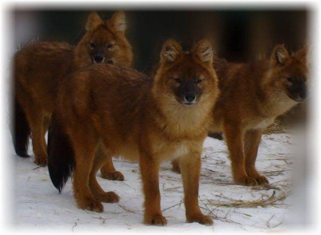 3 Красных волка